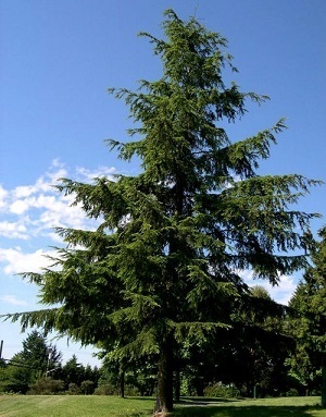healthy hemlock tree