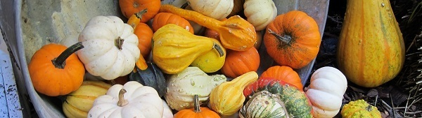 pile of orange, gold, green and white fall gourds spilling out of a pail