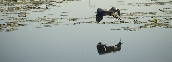 A heron flies above a wetland