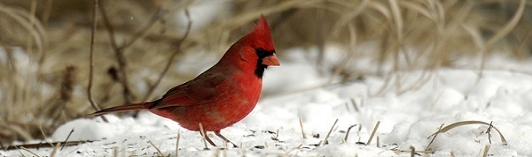 A bright red cardinal perched in the winter snow