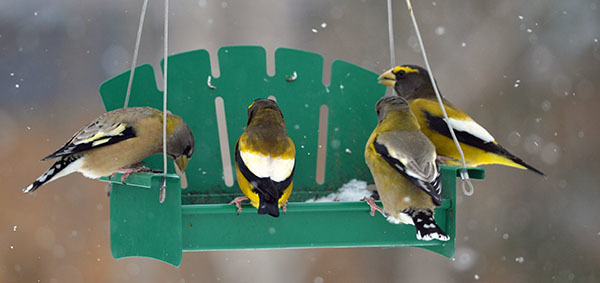 Evening grosbeaks enjoy a bird feeder in Marquette County.