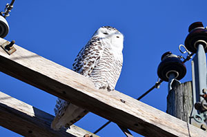 A snowy owl checks out the scene from a utility pole in Schoolcraft County.