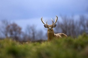 Mature buck peeking up over a grassy area