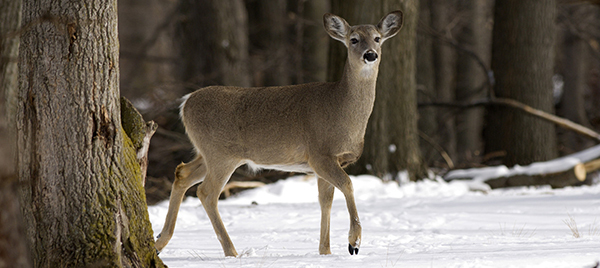 Doe in forest with snow on the ground