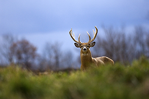 Whitetail buck in a field