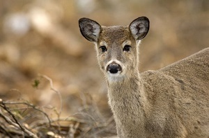 a young white-tailed deer