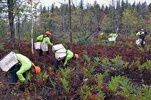 A crew of migrant workers plants seedlings to improve deer habitat on a project in Marquette County.
