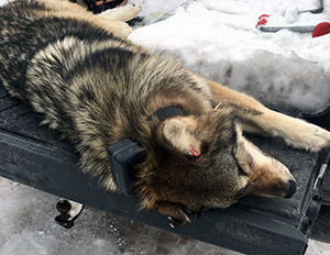 A gray wolf shot in Ontonagon County Saturday is shown. A Menominee County man has admitted shooting the animal with a rifle.