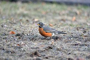 The American robin is Michigan's state bird.
