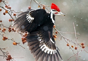 close-up view of a pileated woodpecker in flight, against a snowy background