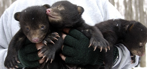 three young bear cubs held by a wildlife technician during a radio collaring effort