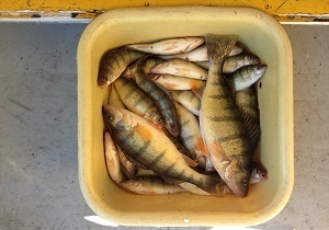 View from above, of several yellow perch in a bucket