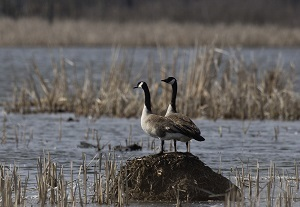 Canada geese perched on wood pile in a wetland area