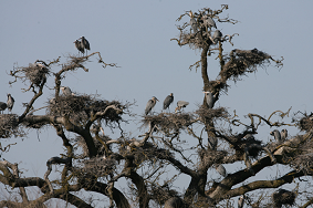 Herons nesting in trees on the restored Strawberry Island