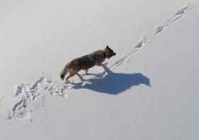 A gray wolf making tracks through snowy Michigan