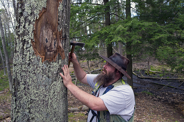 Phillip Kurzeja of the Michigan Department of Natural Resources checks under the bark of an oak tree for pressure pads in Grand Traverse County.