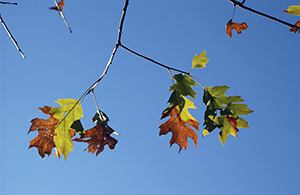A closeup of oak leaves on an infected tree, which are an unusual mix of brown and green, with both colors contained in the leaves.
