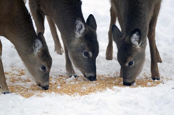 White-tailed deer feeding on corn in Marquette County.