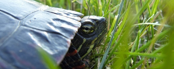 close-up side view of a painted turtle in the grass