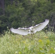 An egret takes flight on the River Raisin - City of Monroe