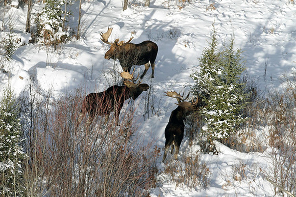Moose seen during a survey south of Lake Michigamme in the western Upper Peninsula (Neil Harri photo)