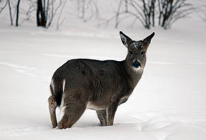 A white-tailed deer braves the winter in Marquette County.