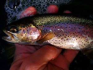 Close up of a rainbow trout in someones hands