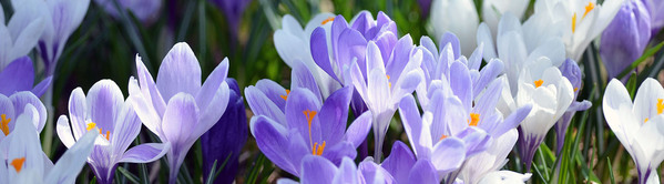 A springtime spray of crocuses in Houghton County is shown.