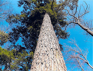An eastern hemlock tree is shown against a beautiful blue sky.