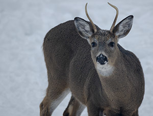 A spike-horned deer in Marquette County is shown.