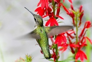 A ruby-throated hummingbird in flight near cardinal flowers