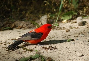 A scarlet tanager perched on the ground, casting a shadow in the dirt