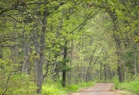 oak trees in the Allegan State Forest, along a country road