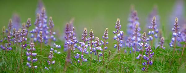 purple wildflowers in green grass