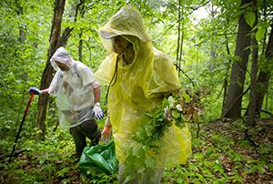 volunteers picking garlic mustard