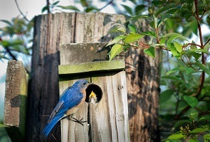 A bluebird perched near a nest built in a fence post, with a baby bird  beak poking out of the nest