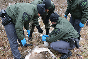Conservation officer recruits receive instruction on recovering bullets, field-dressing and performing necropsies on deer.
