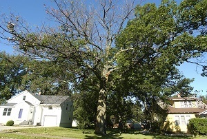 an oak wilt-ravaged tree on a residential property