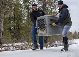 DNR wildlife biologist Cody Norton and wildlife technician Don Brown carry a Canada lynx to a release site.