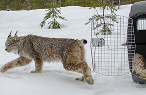 A Canada lynx moves from her wildlife carrier into the wilds of Schoolcraft County.