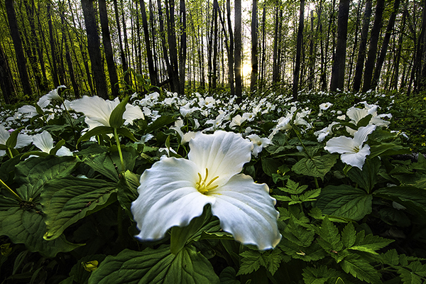 field of trillium flowers with trees in background. Tom Haxby photo