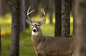 whitetail buck in forest