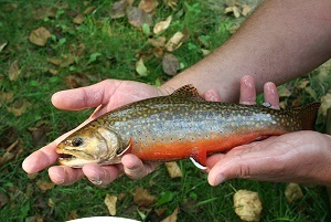 a brook trout from Milligan Creek, Michigan, held in someone's hands