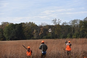 Adult and youth hunters flush a pheasant out of hiding during a youth hunt