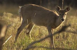 whitetail doe in field