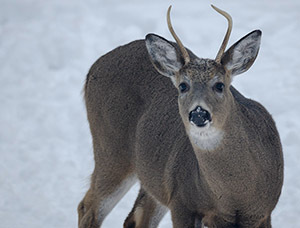 A white-tailed deer in Marquette County is shown.