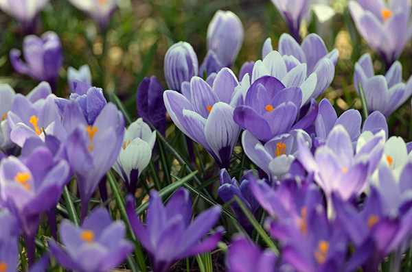 A magnificent patch of crocuses is shown.