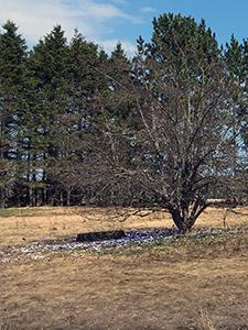 A crocus garden around an old truck tire, beneath an apple tree, is shown.