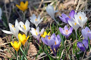 Purple, white and yellow crocuses provided a dazzling sight outside an abandoned home.