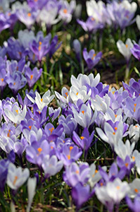 A beautiful crocus garden was growing off the side of the road.